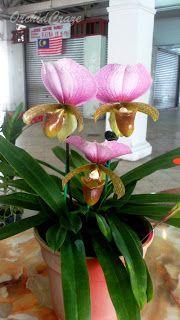 . OrchidCraze: November 2011. Paphiopedilum charlesworthii