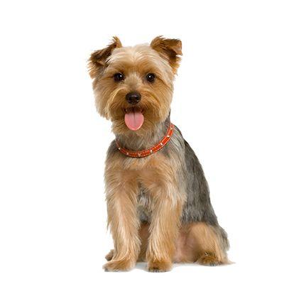 Yorkie The Dog
