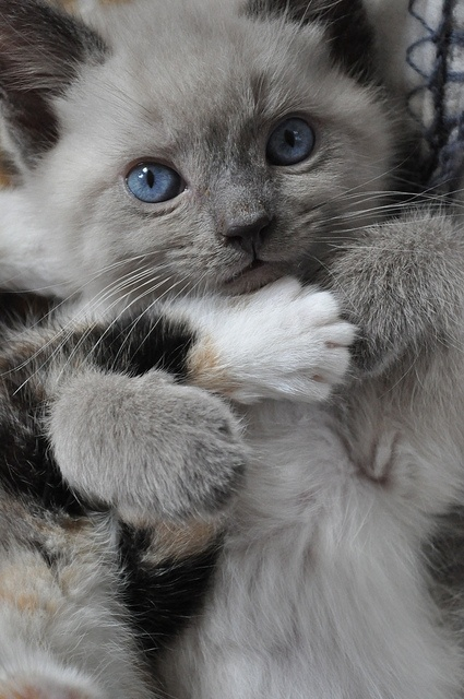 Needed a hug: Grey Cat, Beautiful Cat, Adorable Cat, Pet, Cat Meow, Ragdoll Kittens, Kitty Kitty, Blue Eye Baby, Grey Kittens