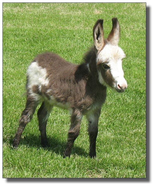 A miniature donkey.  This little beast is for sale at donkeys.net.  So cute.  Wish I could buy him.
