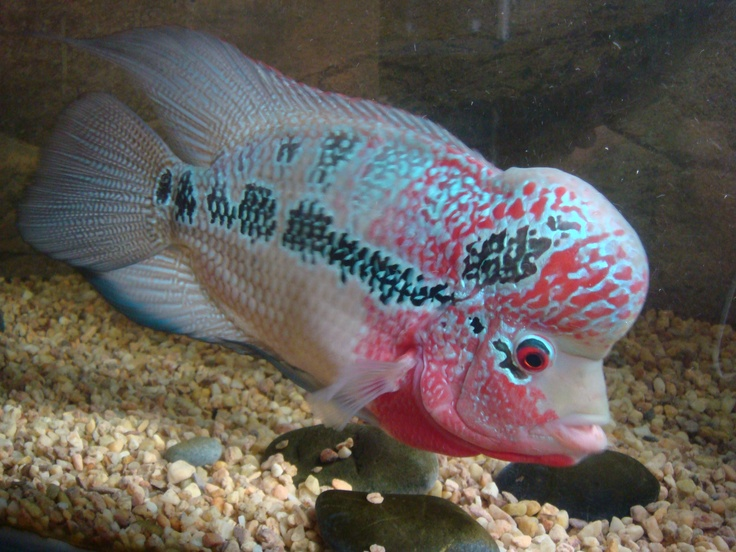 Flowerhorn Cute And Ugly At The Same Time Fresh Water Aquarium