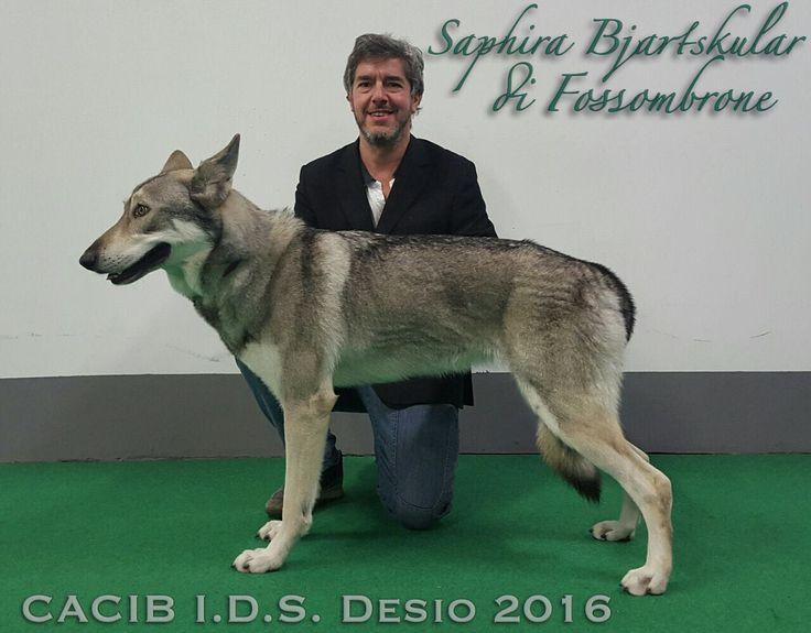 Saphira Bjartskular di Fossombrone CACIB alla Expo' Internazionale Canina di DESIO 2016! #CacibDesio #FOSteam