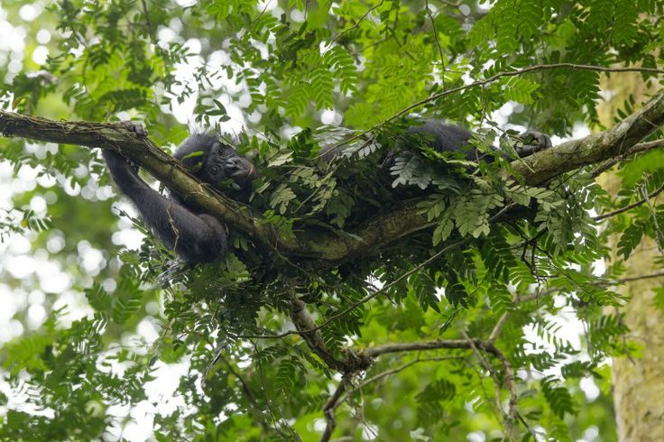 14 January 2011 Bonobos, like other apes, build nests to sleep in every night. Here, a female builds a nest just to take a midday nap.