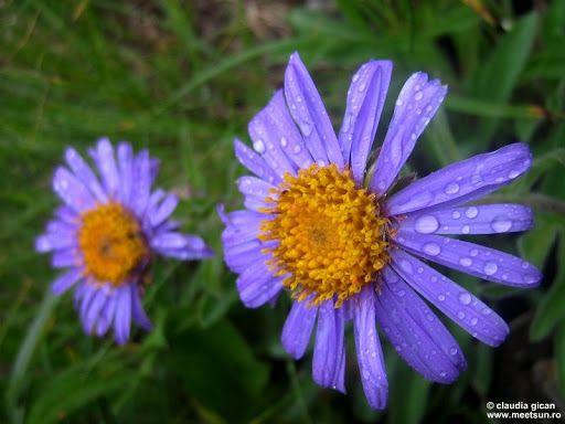 Ochiul-boului-de-munte (Aster alpinus). Flori mov de munte