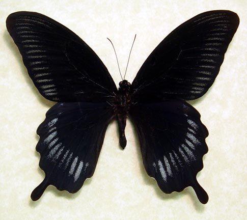 Giant Swallowtail Papilio Deiphobus