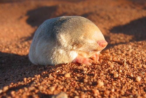 "Chrysochloridae (aka ""Golden moles"") are small, insectivorous burrowing mammals native to deserts of southern Africa, quite unrelated with Eurasian or American moles."