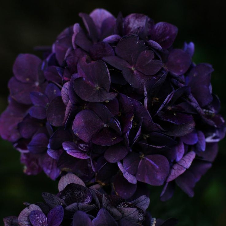 hydrangea trees types and pictures | Hydrangea macrophylla ...