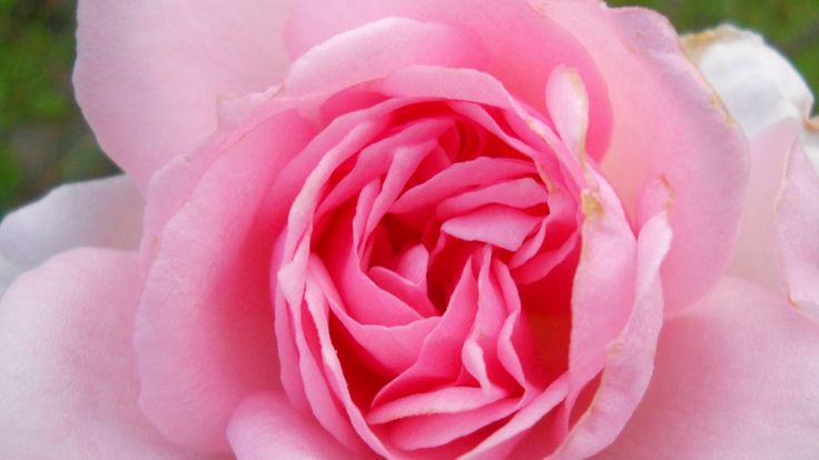 Pink Parfait rose: constant fragrant blooms all year