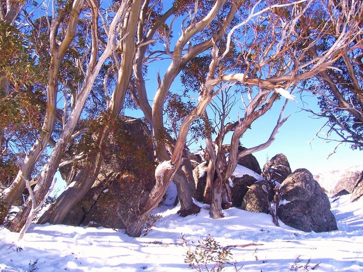Snow gums in the Snowy Mountains, New South Wales