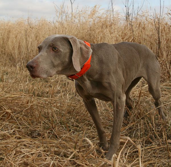 Weimaraner | Breed Profile: The Weimaraner - Gun Dog Magazine