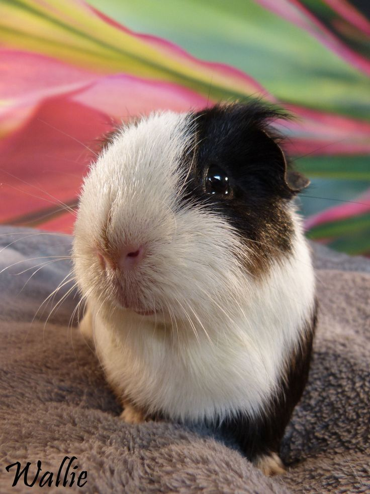 Today our lovely friend Wallie died of pneumonia at the age of 4 years. We are missing our friend so much and we will never forget him. We hope we will meet again over the Rainbow Bridge in Guineapig Heaven!