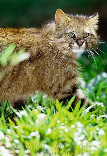 Pampas Cat (Oncifelis colocolo)
