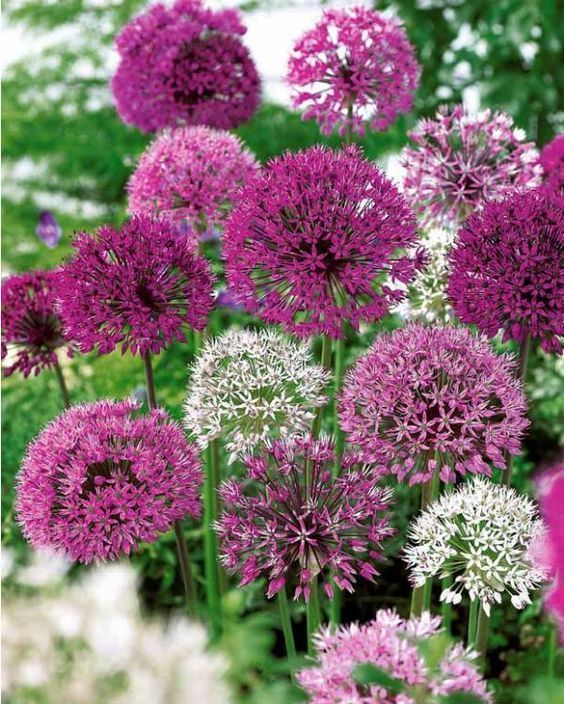"Allium Bulbs - All-In-One Mix Pastel Mix Growths to 36"" 8 butbs #LargePaslel"