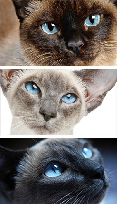Siamese Cat types: Applehead, Wedge, and Traditional.