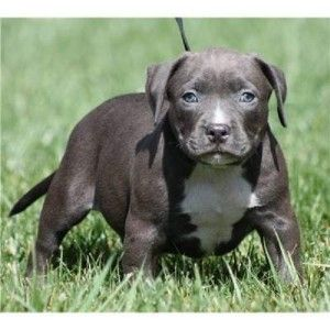 for sale pitbull puppies philippines Puppies, Pitbull
