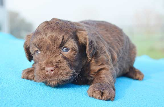 Image Result For Cavoodle Puppy With Blue Eyes Puppies With Blue