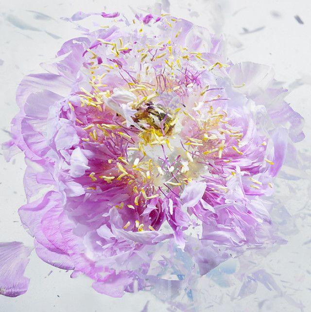 Rapid Bloom - Martin Klimas Le projet : des fleurs sont plongées dans de l'azote liquide et l'artiste les fait ensuite exploser à l'aide d'un pistolet à air.