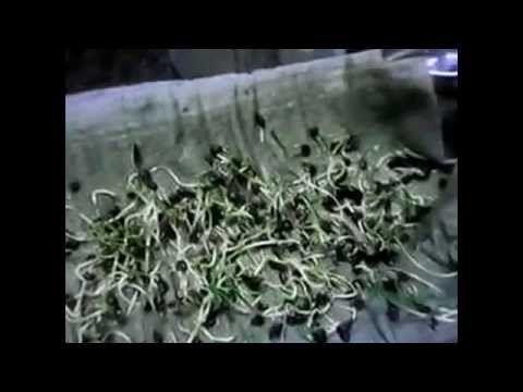 Проращивание семян. Результат на лицо. - YouTube