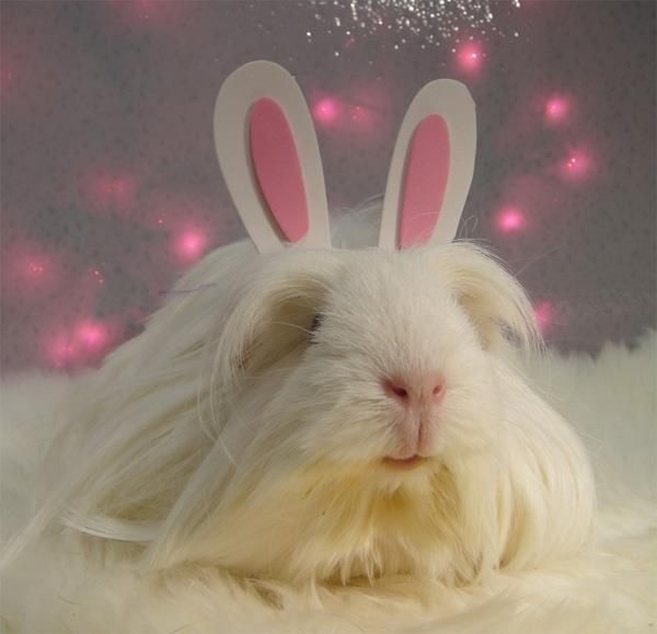 Easter+guinea+pigs | easter guinea pig