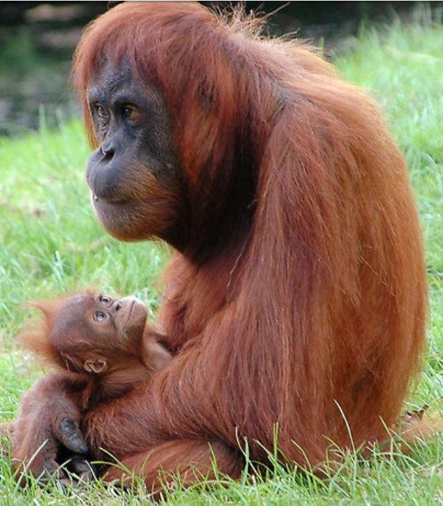 Adorable baby orangutan and mother.