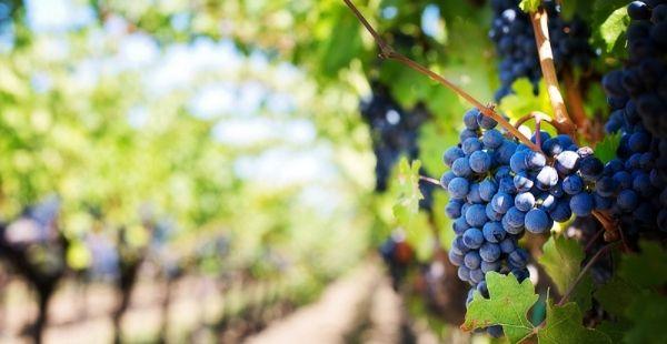 Frutta di stagione: le proprietà dell'uva e i suoi benefici