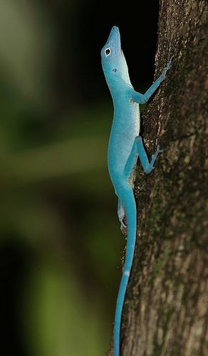 The only totally blue lizard.  Blue Anole. A lizard on the verge of extinction