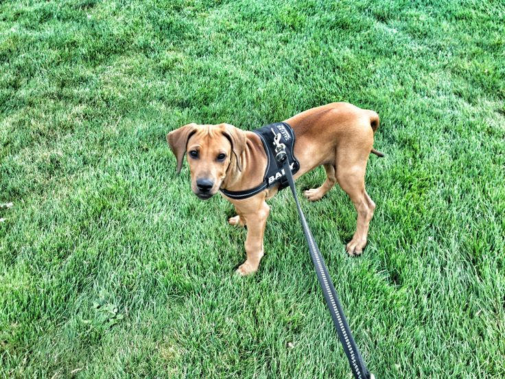 puppy Cameron - ridgeback