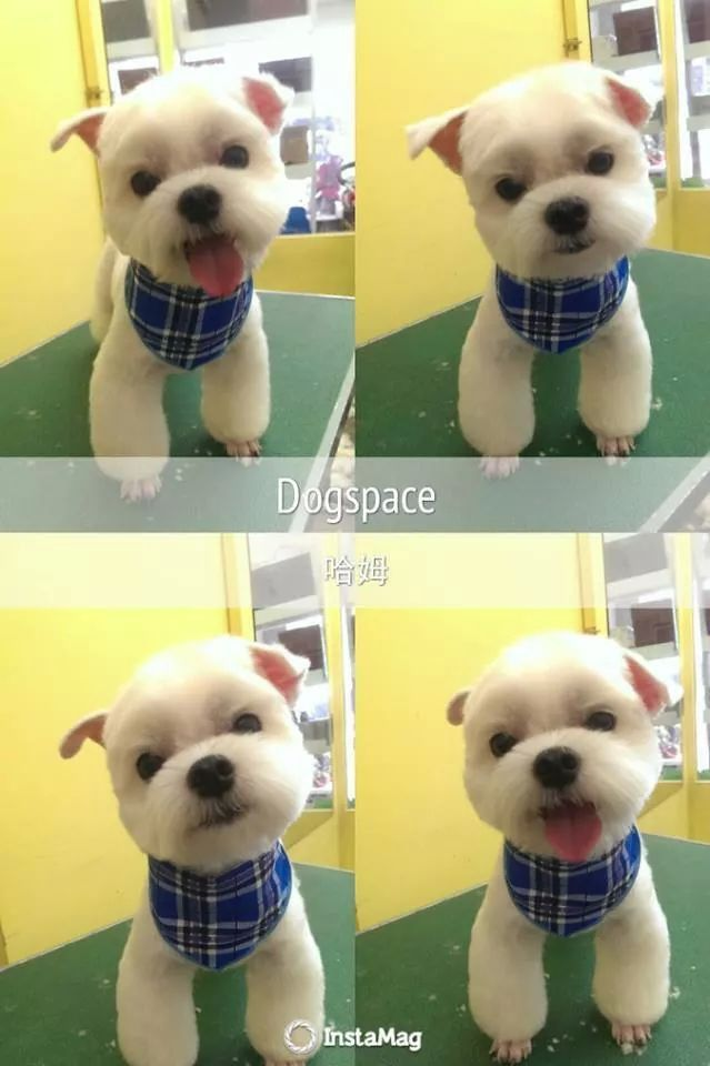189 Best Images About Maltese Cuts On Pinterest Japanese
