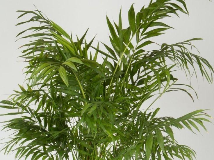 Chamedora wytworna = Chamedora wyniosła = Palma koralowa - Doniczkowe - Baza roślin - rosliny.urzadzamy.pl