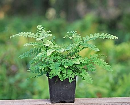 A Safe Plant List for Pet Chameleons - Should be fine for cresties, too. (This is a maidenhair fern.) / Tiki Tiki Reptiles  #vivarium #CrestedGecko