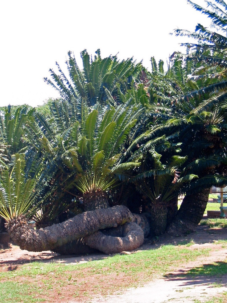 Modjadji cycad forest, South Africa.