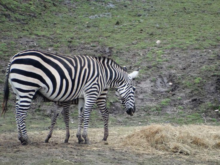 Grant's zebra mom feeding her young - Wildlands Adventure Zoo Emmen - 04-03-2017 By Tjaard Polet