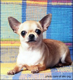 Applehead Chihuahua Puppies | apple head chihuahuas vs. deer head chihuahuas: how they differ ...