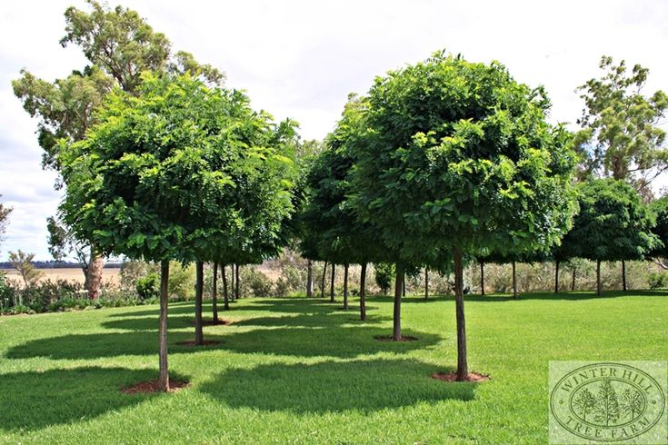 Robinia - Mop Top. 5m x 4m. Frost hardy, drought hardy, wind hardy. Deciduous. Suitable for pots.
