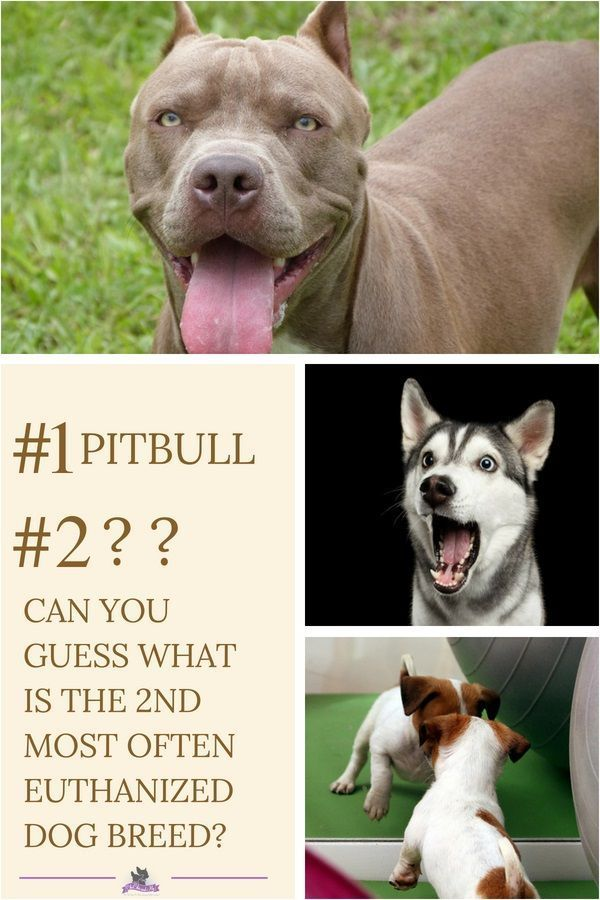 Most People Know That Pitbulls Are The Number One Most Often