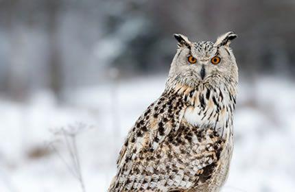 uil, ogen, dieren, vogels, winter, sneeuw, diepte van het veld