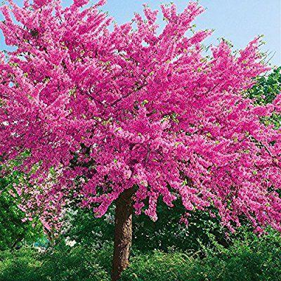 Judasbaum pflanzen und pflegen – So wird's gemacht