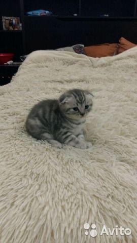 Шотландский чистокровный котенок