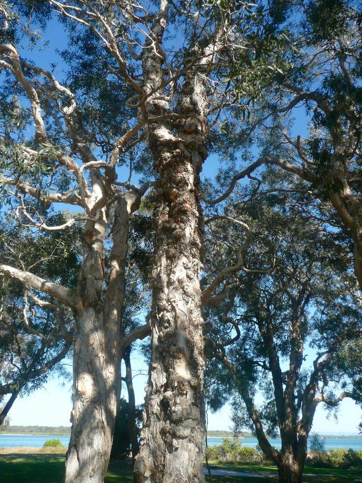 Nobbly trees,Bribie Island,Queensland.