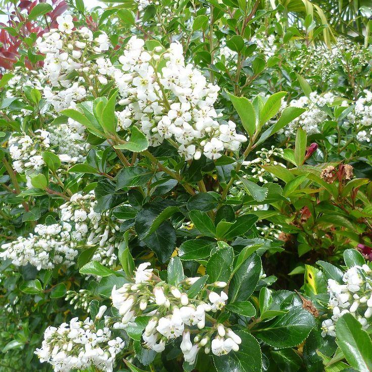 Escallonia 'Illinita' - Escalonia blanc parfumé