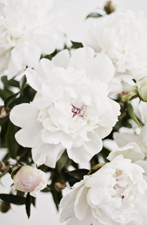 Fresh white peonies