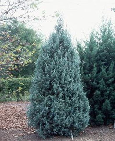 """Blue Point Juniper is a very hardy, fast growing upright juniper with a very pyramidal, columnar growth habit. Withstands drought & windy conditions. Good choice for privacy borders, wind screens, as well as accent & group plantings. Prefers slightly acidic, well drained soil. Full sun to part shade.  4-5' wide by 10-14 high, moderate growth 8-12""""/year Sun Exposure: Full sun to partial shade.  Soil Preference: Average to slightly acidic & sandy - well drained."""