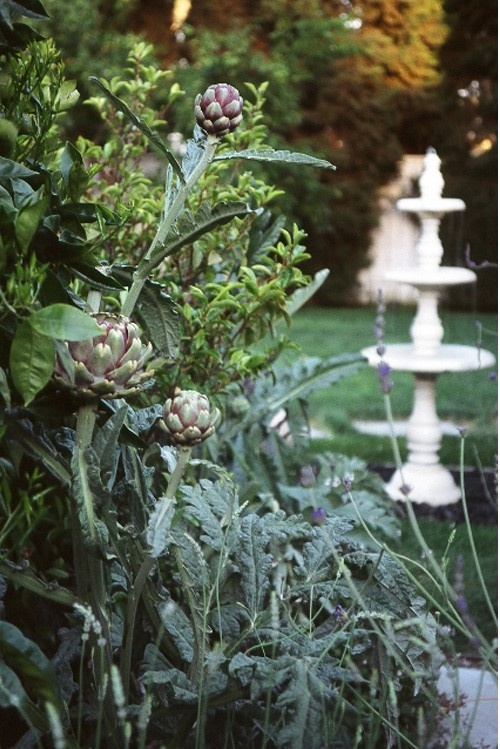 learn to grown your own artichokes