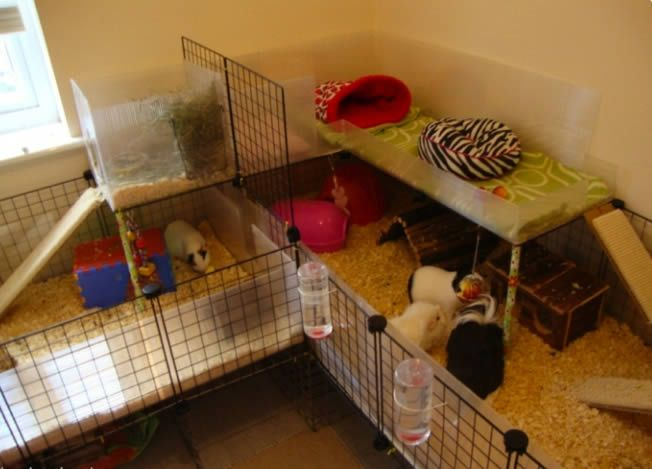 1000 images about cute rodents on pinterest cute guinea for Diy guinea pig cages for sale