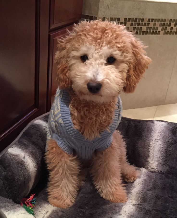 Toy Goldendoodle puppy Bear