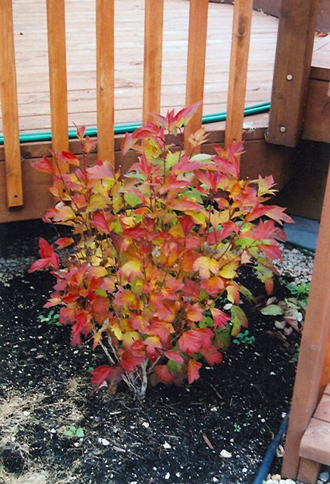 Click To View Full Size Photo Of Compact Highbush Cranberry (Viburnum  Trilobum U0027Compactum