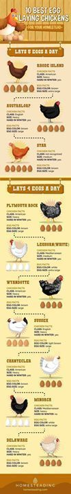 If you plan to raise chicken for eggs this list will help you find out the best egg laying chickens to raise in your homestead. #RaisingChickens #raisingchickensforeggs #egglayingchickens http://wheresthechickens.net/a-z-about-free-range-chicken-farming/ https://www.facebook.com/PreppingMeansPrepared/