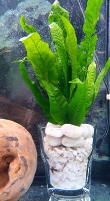 Why not give this a go, its what i call a bio planted plant. If you get yourself a thick whiskey glass, ceramic filter rings, white or colored pea gravel, large white flatish stones and a tube of aquarium silicone glue and your hardy plant, i have used java fern. Now place a thin layer of pea gravel in the bottom of glass and slope some of the gravel in the front of the glass. Now take the ceramic rings and place in the back of the glass, add plant and gently fill with pea gravel. Leave…