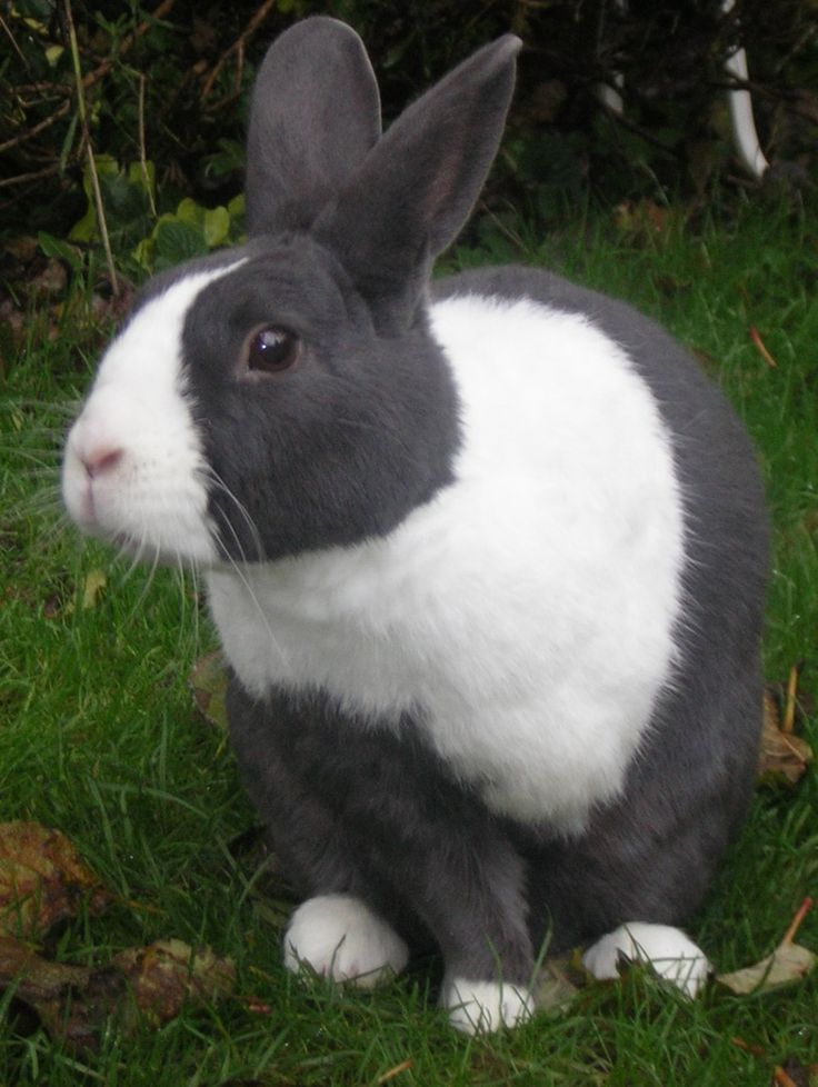 Gray Dutch Rabbit. Dutch rabbits might just be my favorite breed. :)