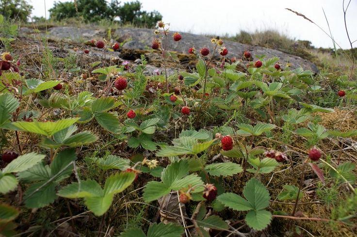 Ahomansikka -Fragaria vesca - Wild strawberry. It's soooooo sweeeeeet.
